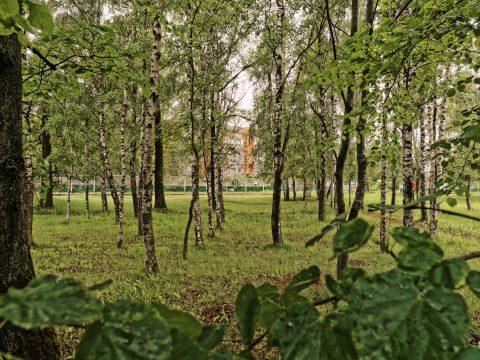 Bild: Birken haben eine wichtige Bedeutung für die Letten. Aus ihnen wird der leckere Birkensaft gebraut. Hier im Rigaer Stadtteil Daugavgrīva  kann man gleichzeitig in der Stadt und im Wald sein. OLYMPUS OM-D E-M5 mit M.ZUIKO DIGITAL ED 12‑40mm 1:2.8. ISO 640 ¦ f/7,1 ¦ 12 mm ¦ 1/50 s. Klicken Sie auf das Bild um es zu vergrößern.