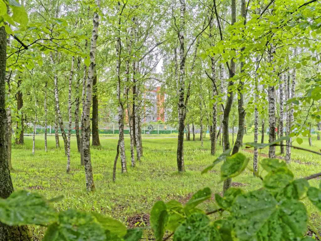 Bild: In der Stadt und im Wald gleichzeitig - das ist vielleicht nur in Rīga möglich. Birkenwäldchen im Stadtteil Daugavgrīva. OLYMPUS OM-D E-M5 mit M.ZUIKO DIGITAL ED 12‑40mm 1:2.8. ISO 200 ¦ f/7,1 ¦ 12 mm ¦ 1/50 s ¦ kein Blitz. Klicken Sie auf das Bild um es zu vergrößern.